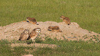 Burrowing Owls & Prairie Dog pups