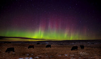 Cattle under night sky